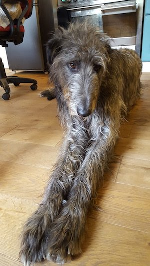 Callie, Dee Palmer's Scottish Deerhound